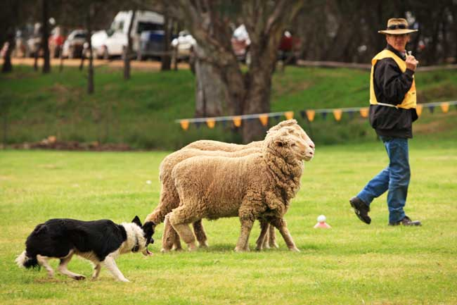 dog-trials